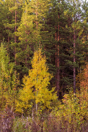 Landscape of an autumn mixed forest with yellowed and reddened foliage.