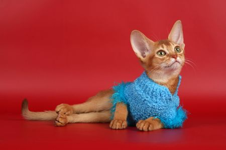 abyssinian cat: Abyssinian cat over red background