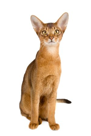 dorombolás: Abyssinian cat over white background Stock fotó
