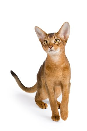 Abyssinian cat over white background photo