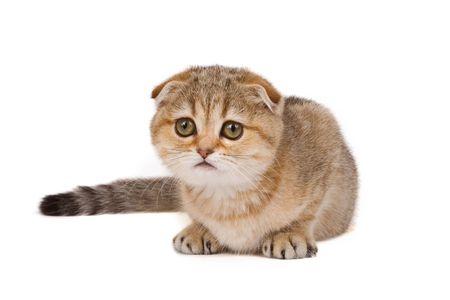 scotish: scotish fold kitten