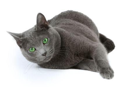 Russian blue cat over white background  photo