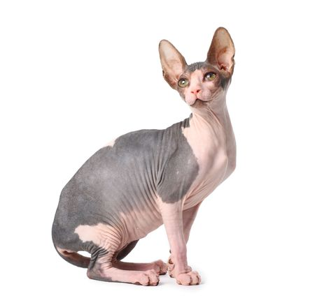 puss: sphynx cat  Stock Photo