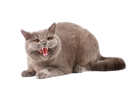 Angry cat photo