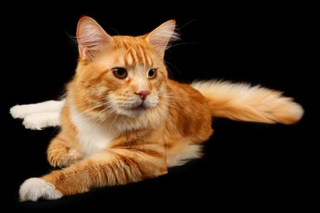 Red maine-coon cat over black photo