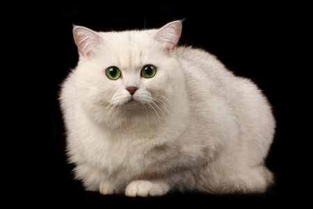 White cat with green eyes over black photo