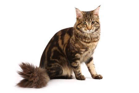 Maine-coon cat photo