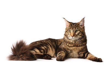 Maine-coon cat photo