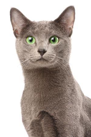 white russian: Portrait of a russian blue cat Stock Photo