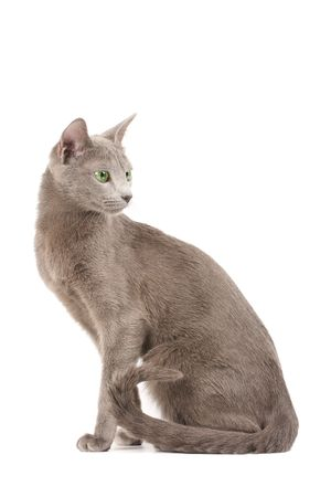 Profile of a russian blue cat photo