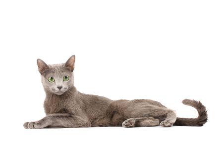 Portrait of a russian blue cat photo