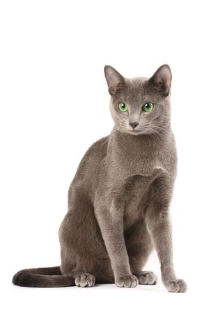 purebred cat: Portrait of a russian blue cat Stock Photo