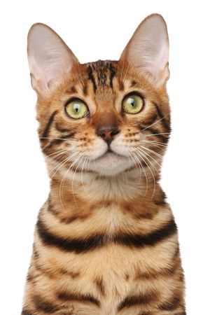 Passport shot of bengal cat Stock Photo - 5681655
