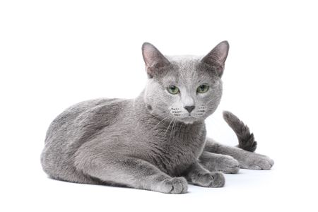 cat tail: Russian blue cat