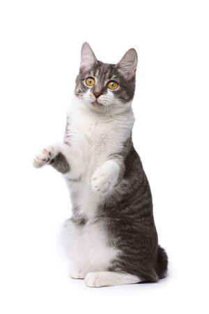 kurilian bobtail: Playful kurilian bobtail