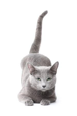 burmese: Russian blue cat