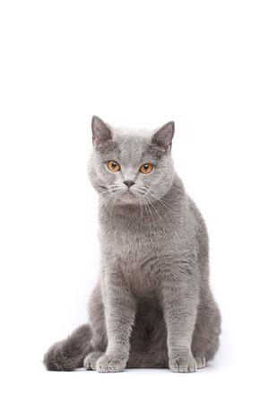 Briten: Britische Katze Lizenzfreie Bilder