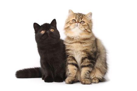 Persian cats photo