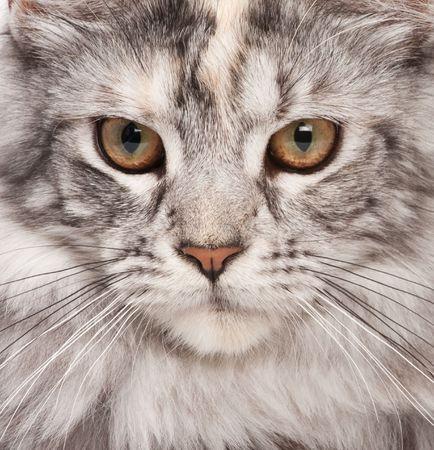 maine cat: Maine Coon cerrar-up retrato Foto de archivo