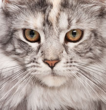 maine cat: Maine-coon close-up portrait Stock Photo