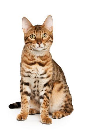 gato atigrado: Bengal Foto de archivo