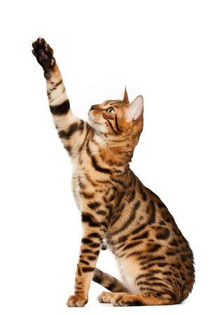 Бенгалия: Bengal cat