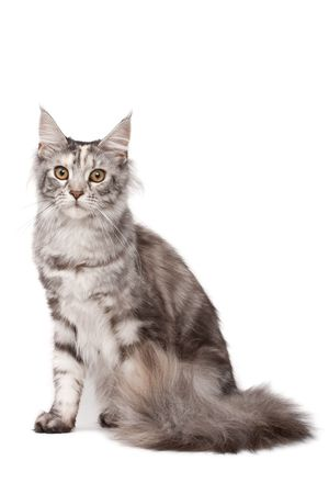 maine cat: Maine-coon cat