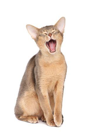 yaw: Yawning abyssinian cat  Stock Photo