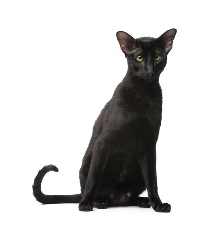 Black oriental cat Stock Photo - 5835294