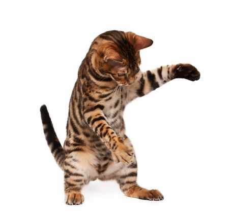 puss: Bengal cat playing  Stock Photo