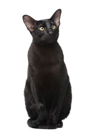 Black oriental cat photo