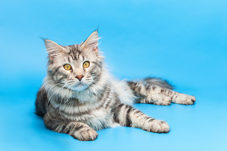 maine coon: Maine Coon
