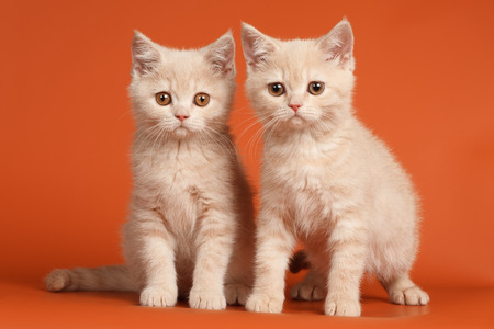 british shorthair: British Shorthair Kittens