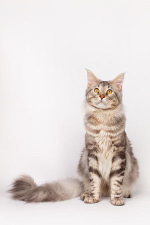 maine coon: Maine Coon Cat