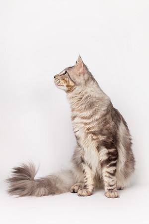 maine cat: Maine Coon Cat profile