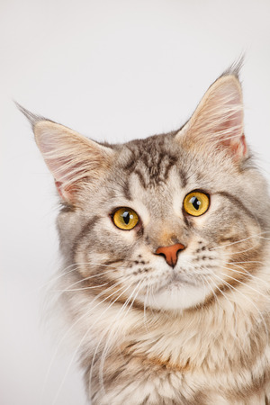 maine coon: Maine Coon Cat close-up