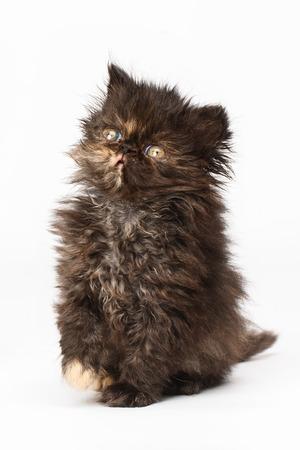 persian: Persian kitten