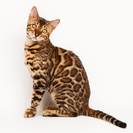 Bengal Cat Stock Photo - 39002149