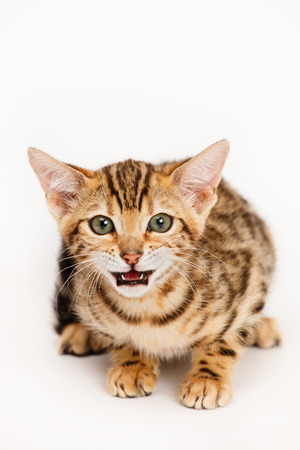 yaw: Bengal Cat