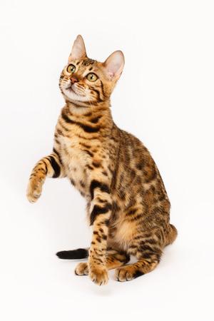 gato jugando: Juego del gato de Bengala