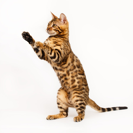 bengal: Bengal Cat playing