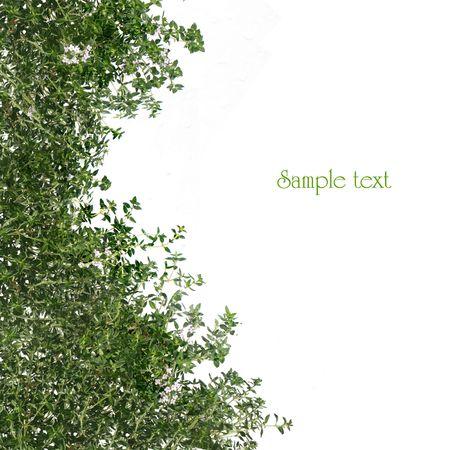 Thyme white background Stock Photo - 5257653