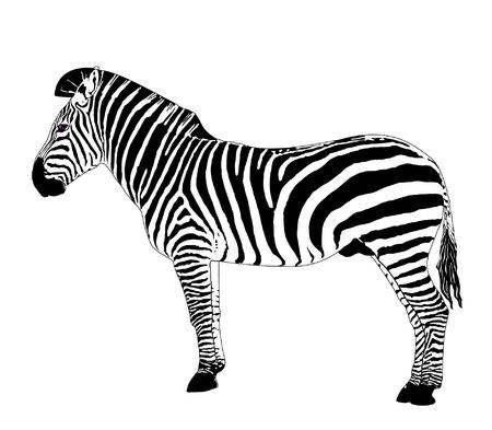 African animals 1: Vector zebra