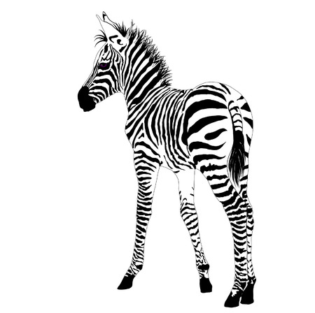sripes: African animals 2 :vector baby zebra
