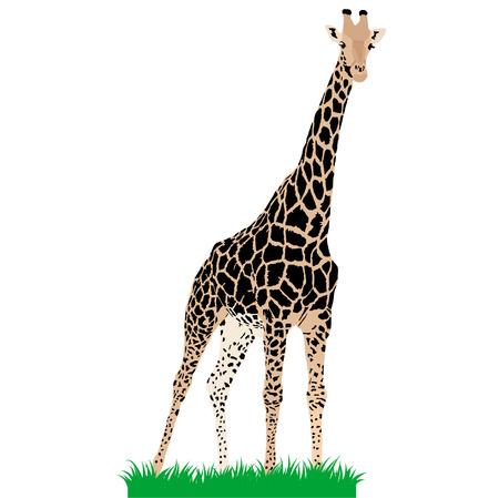 African animals 3 : Vector giraffe Illustration
