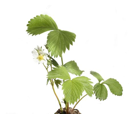 Strawberry plant with flower isolated on white