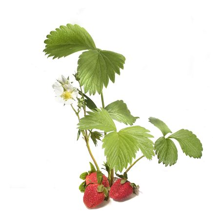 chandler: strawberries plant & fruit isolated on white Stock Photo