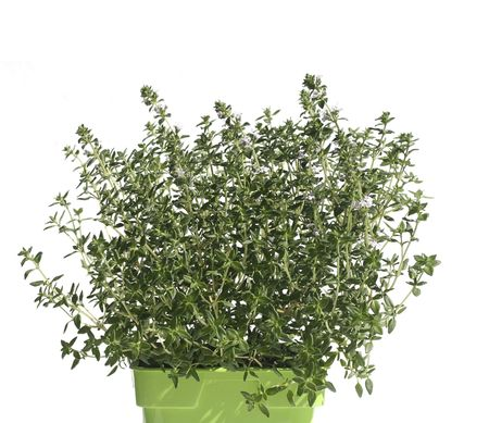 Thyme in pot isolated on white Stock Photo - 5777228