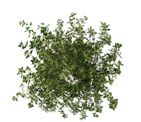 Thyme isolated on white Stock Photo - 5777233