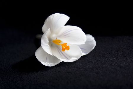 White crocus isolated on black photo
